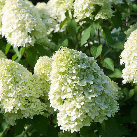 Okrasné kríky - Hortenzia metlinatá ´Limelight´