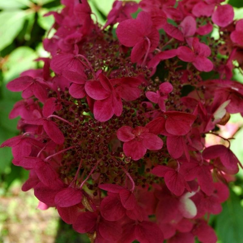 Okrasné kríky - Hortenzia metlinatá ´Wim´s Red´