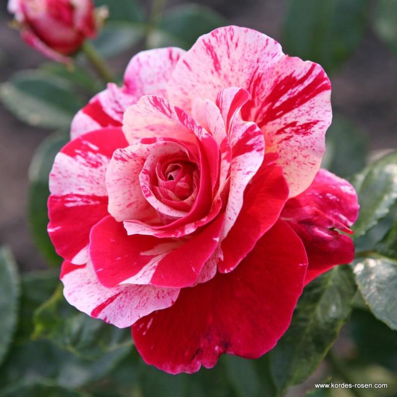 Ruže KORDES - Ruža ´Abracadabra´