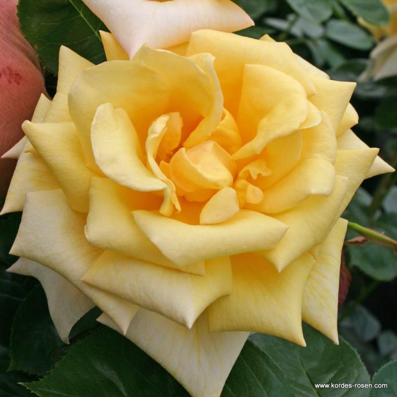 Ruže KORDES - Ruža ´Berolina´
