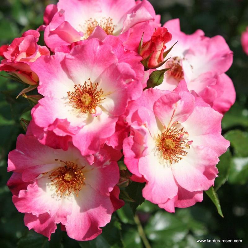 Ruže KORDES - Ruža ´Dolomiti´
