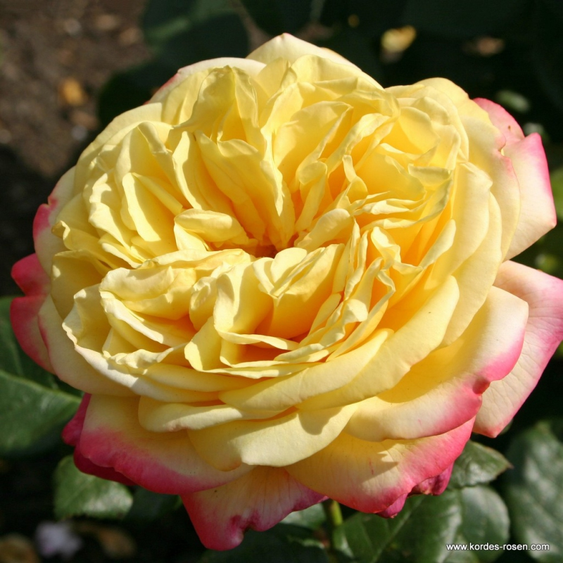 Ruže KORDES - Ruža ´Kordes Jubilee´