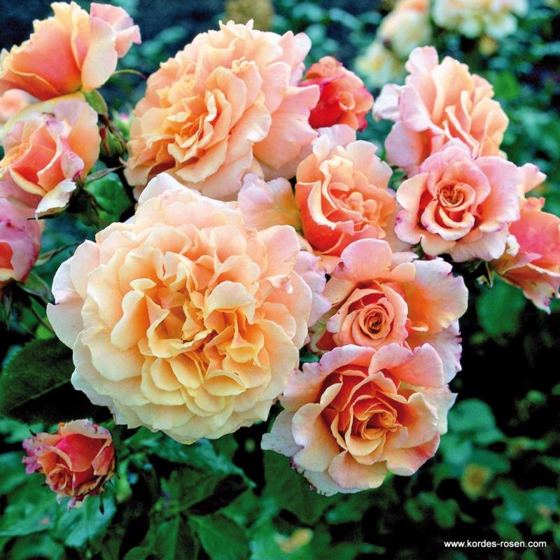 Ruže KORDES - Ruža ´Caramella´