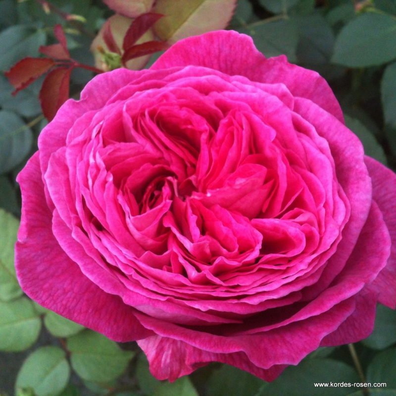 Ruže KORDES - Ruža ´Freifrau Caroline´