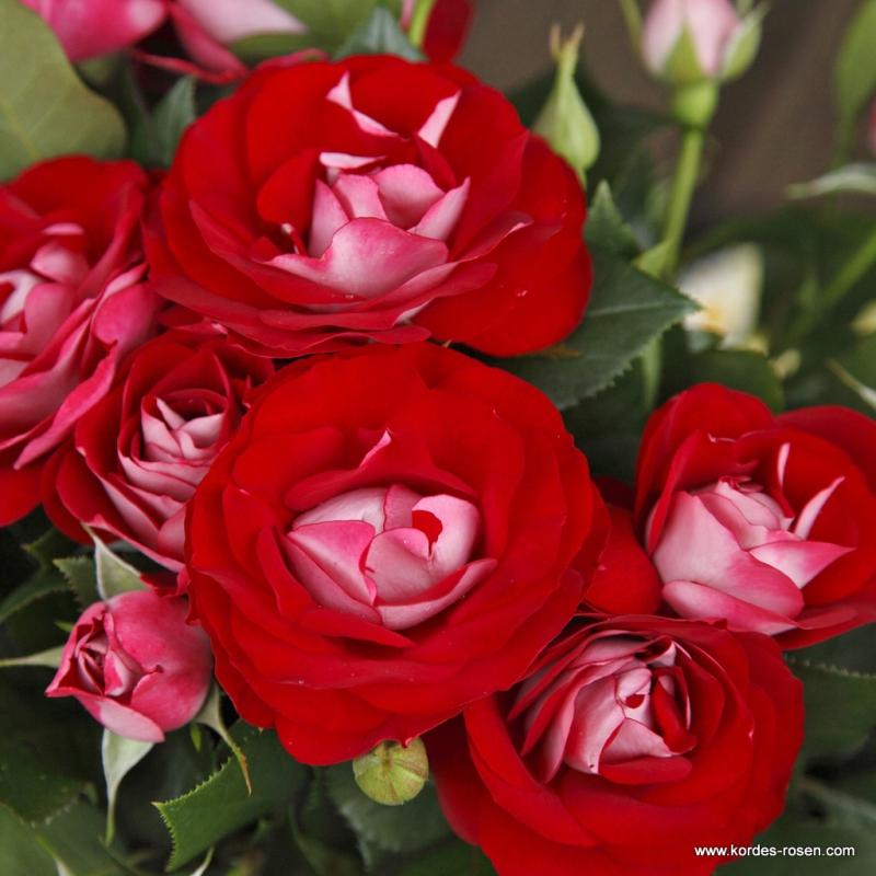 Ruže KORDES - Ruža ´Rose der Einheit´