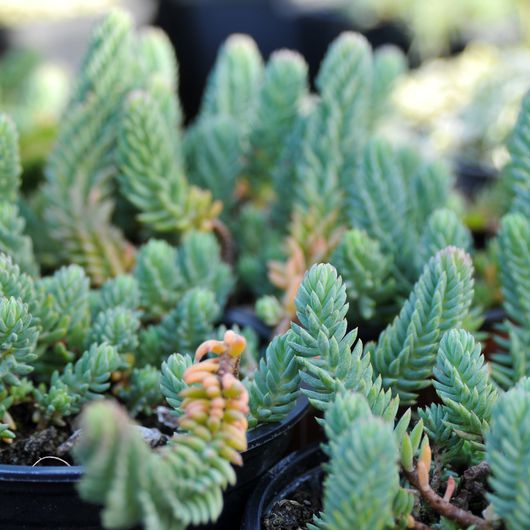 Trvalky - Rozchodník blue-spruce