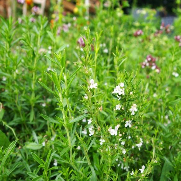 Bylinky do kuchyne - Saturejka záhradná