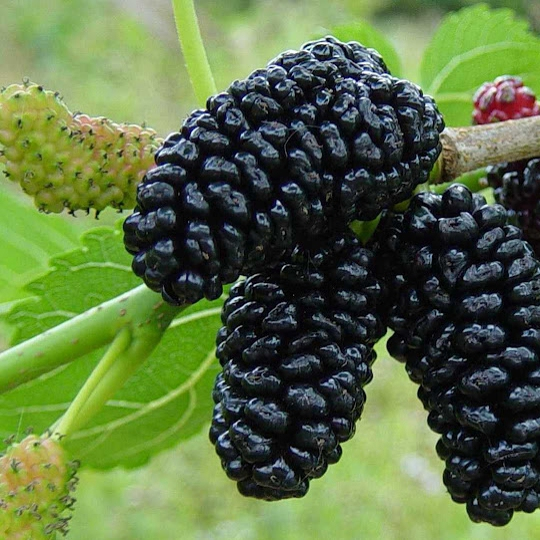 Ovocné stromy - Moruša čierna