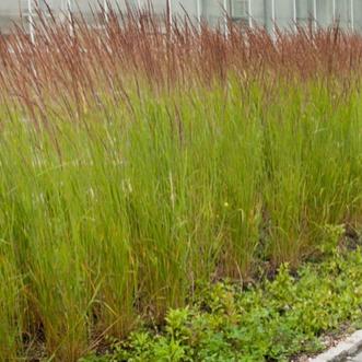 Okrasné trávy - Smlz ostrokvetý ´Karl Foerster´