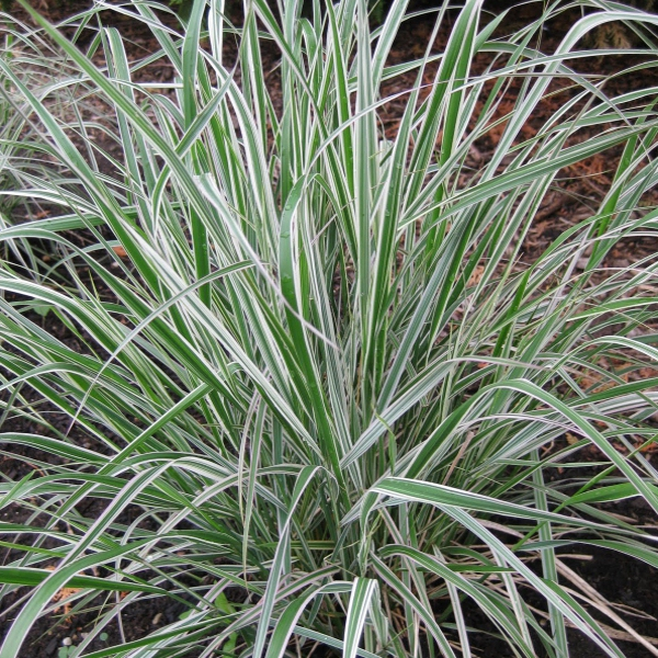 Okrasné trávy - Smlz ostrokvetý 'Overdam'