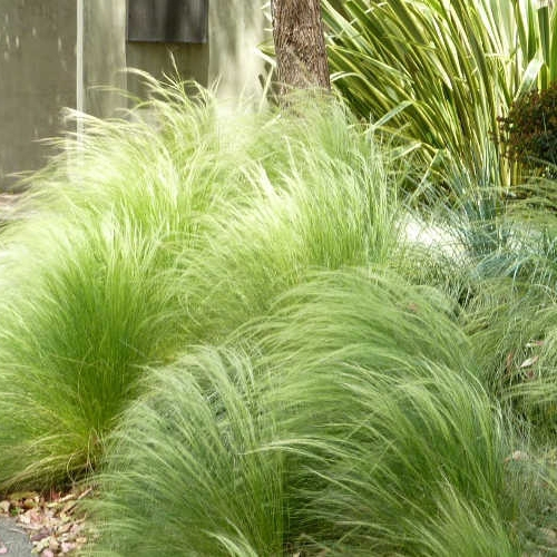 Okrasné trávy - Kavyl ´Pony tails´