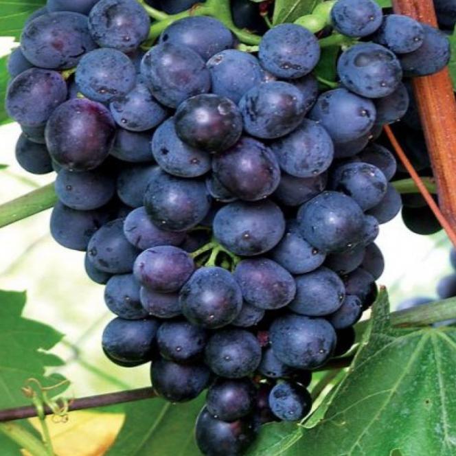 Viniče - Vinič stolový ´Eszter´