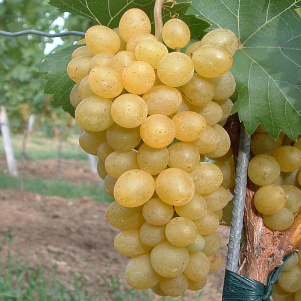Viniče - Vinič stolový ´Suzi´