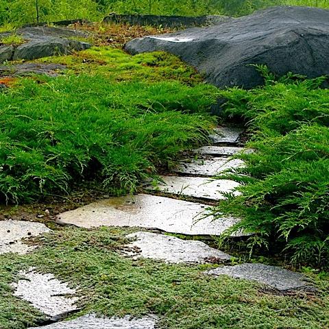 Plazivé rastliny - Sibírska borievka
