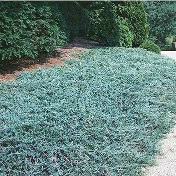 "Plazivé rastliny - Borievka ""Ice Blue"""