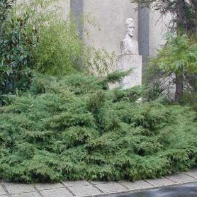 "Plazivé rastliny - Borievka ""Tripartita"""