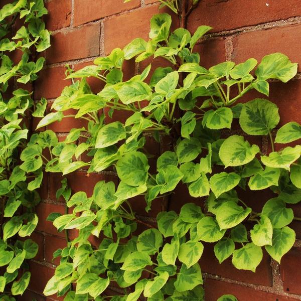 Popínavé rastliny - Hortenzia popínavá ´Miranda´