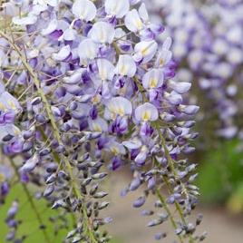 Popínavé rastliny - Vistéria kvetnatá ´Domino´