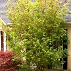 "Listnaté stromy - Javor dlaňovitolistý ""Sangokaku"""