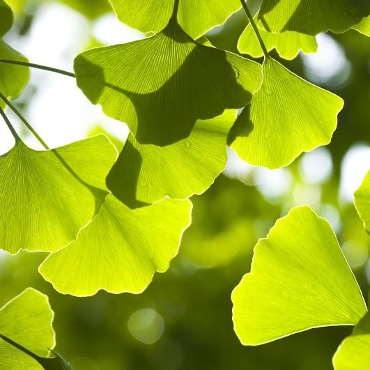 Listnaté stromy - Ginko dvojlaločné