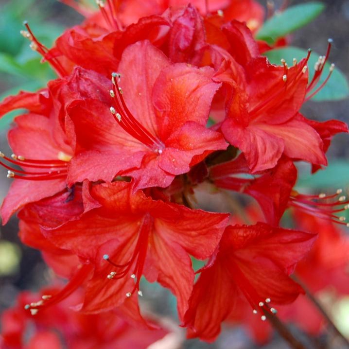 Azalky a Rododendróny - Azalka ´Parkfeuer´