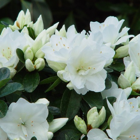 Azalky a Rododendróny - Azalka japonská ´Adonis´