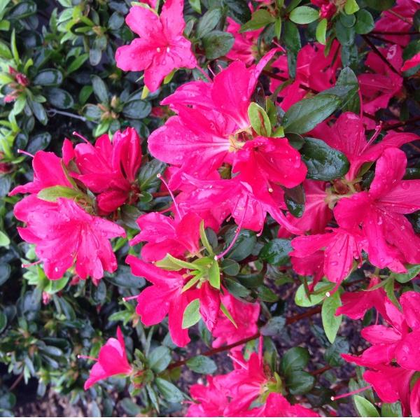 Azalky a Rododendróny - Azalka japonská ´Amoena´