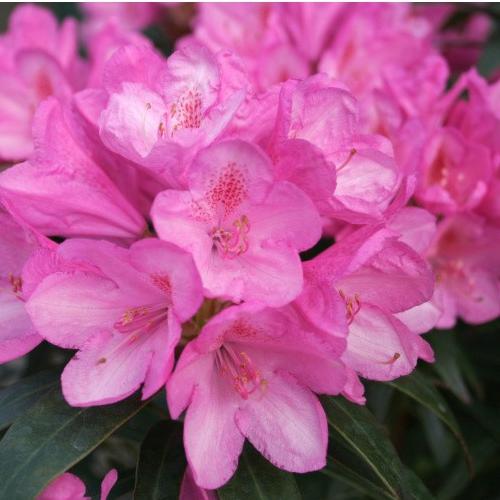 Azalky a Rododendróny - Rododendrón ´Graziella´