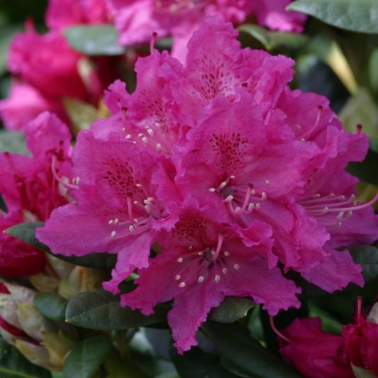 Azalky a Rododendróny - Rododendrón ´Rocket´