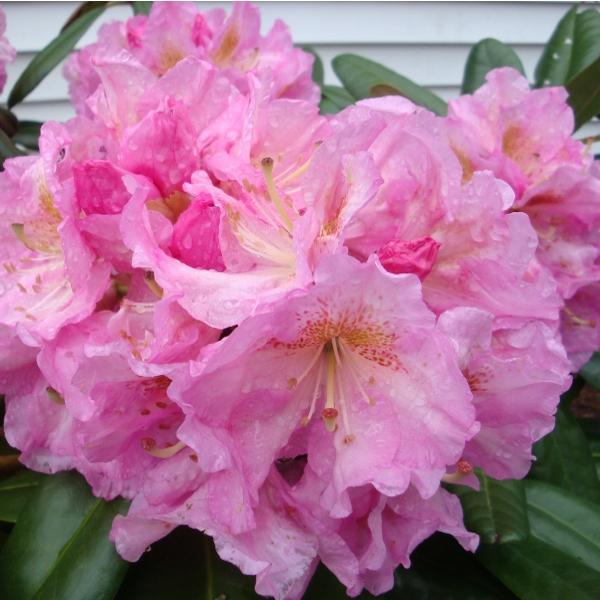 Azalky a Rododendróny - Rododendrón ´Scintillation´