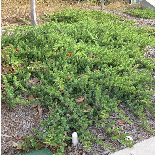 """Plazivé rastliny - Borievka pobrežná """"Blue Pacific"""""""