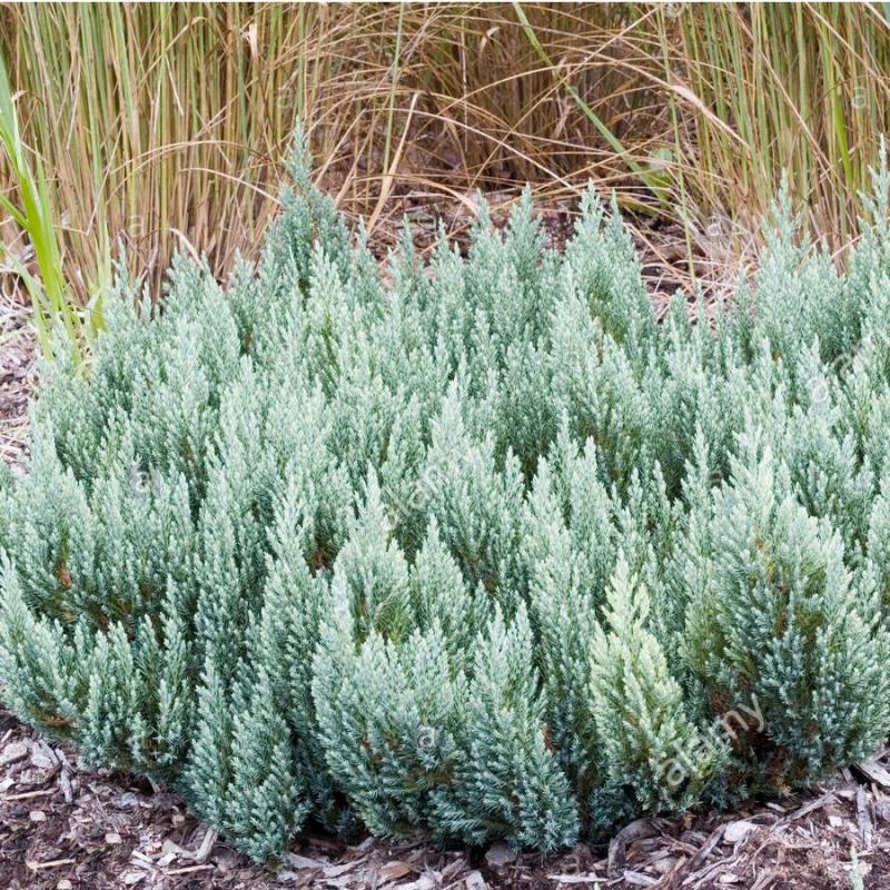 Plazivé rastliny - Borievka plazivá ´Forest´