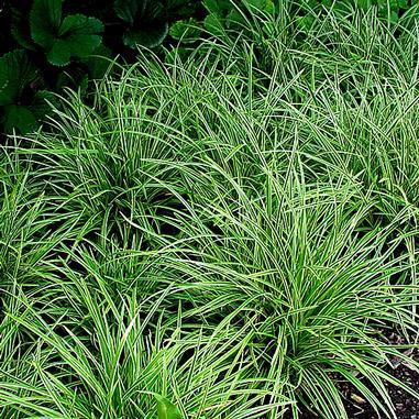 Okrasné trávy - Ostrica ´Ice Dance´