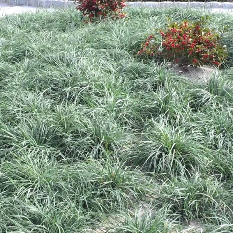 Okrasné trávy - Ostrica prosová