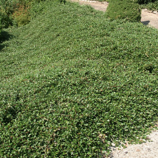 Plazivé rastliny - Skalník damerov 'Major'