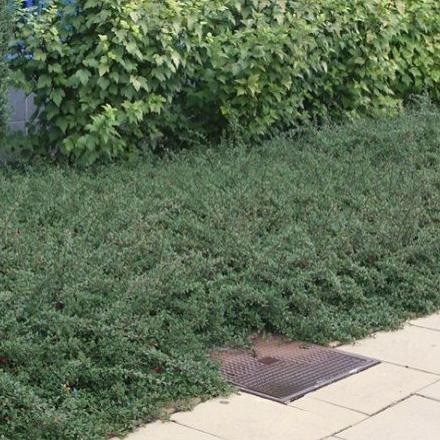 Plazivé rastliny - Skalník 'Eichholz'