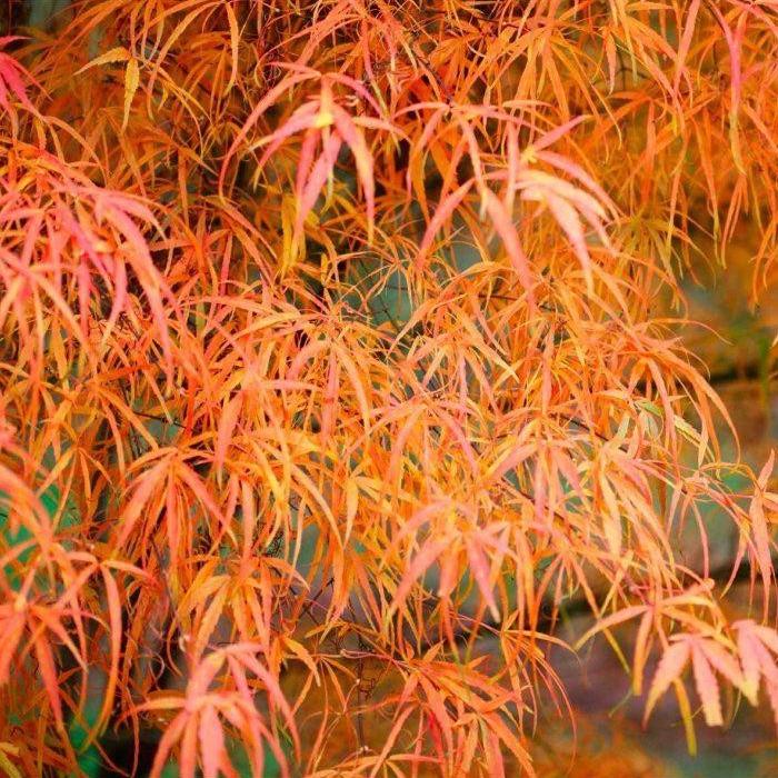 Listnaté stromy - Javor dlaňovitolistý ´Koto No Ito´