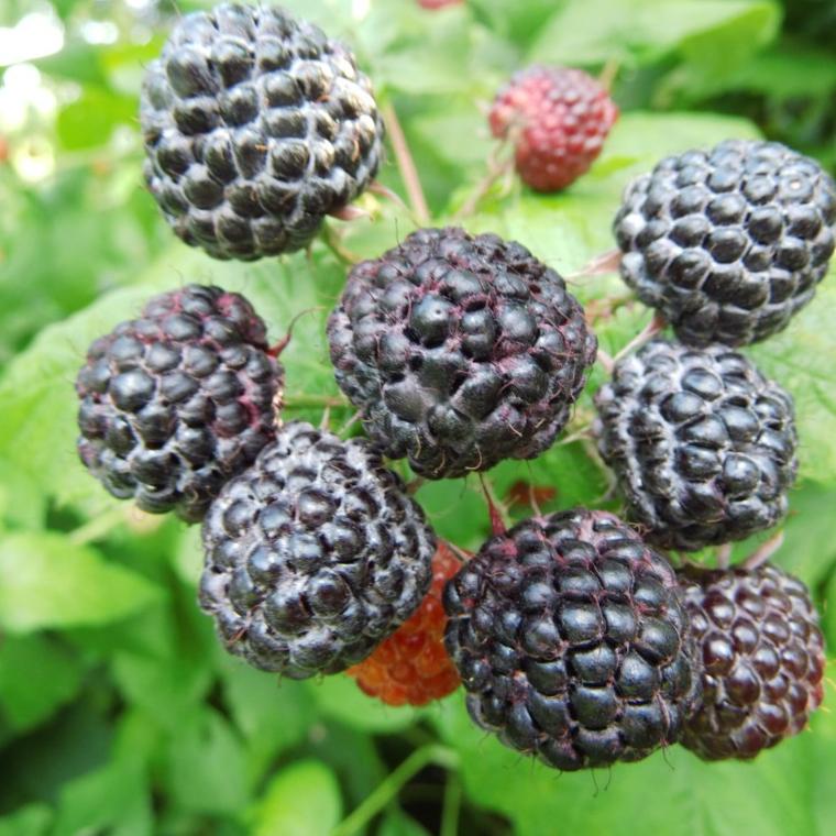 Drobné ovocie - Malina čierna ´Black Jewel´