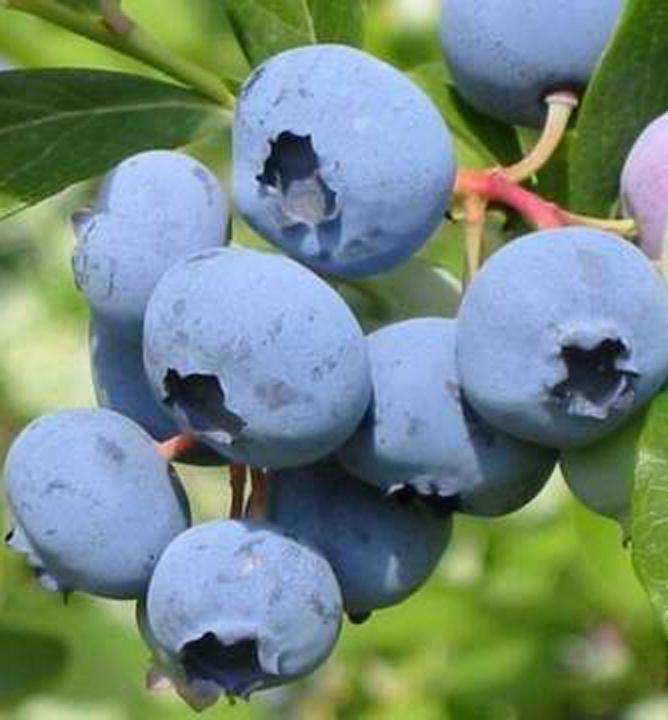 Drobné ovocie - Čučoriedka kanadská ´Darrow´