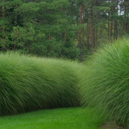 Okrasné trávy - Ozdobnica čínska ´gracillimus´