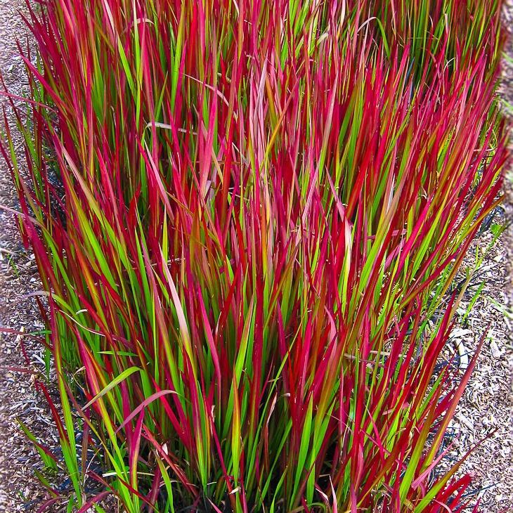 """Okrasné trávy - Imperáta cylindrická """"Red Baron"""""""