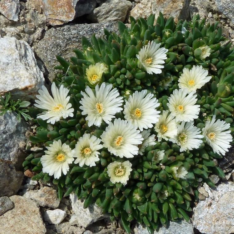 Trvalky - Delosperma 'White Nugget'