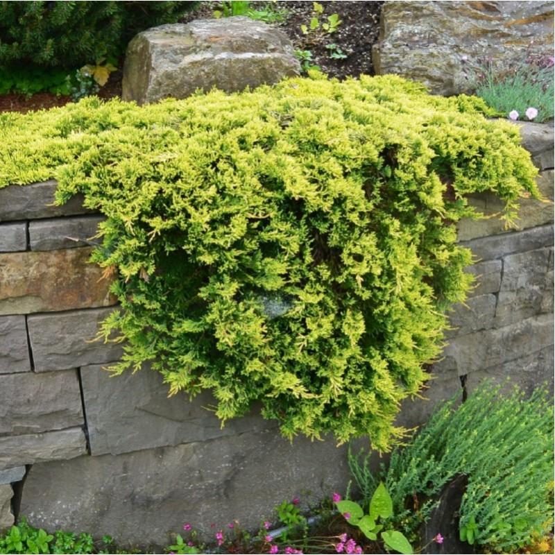 Plazivé rastliny - Borievka rozprestretá ´GOLDEN CARPET´