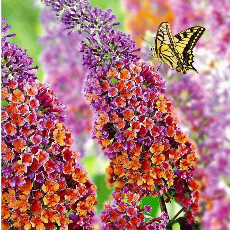Okrasné kríky - Budleja davidii 'Flower Power´