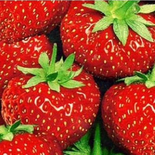 Drobné ovocie - Jahoda 'Senga Sengana' stredne skorá odroda