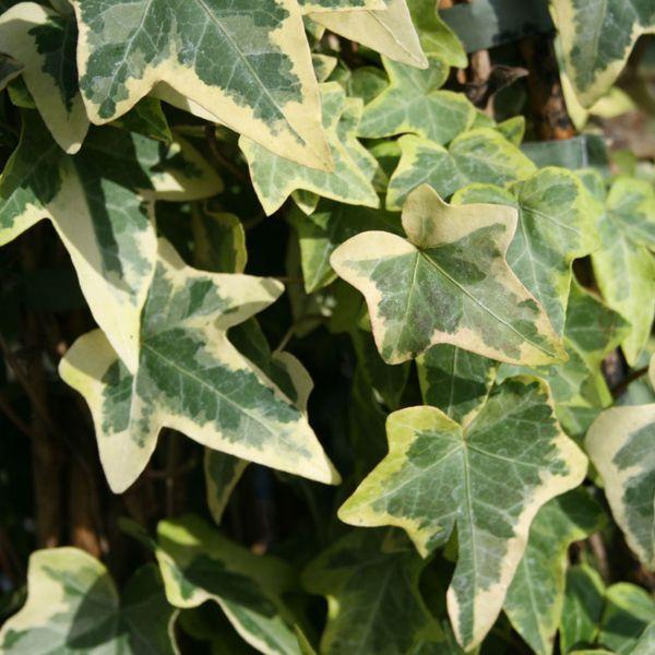 Popínavé rastliny - Brečtan popínavý ´Goldchild´