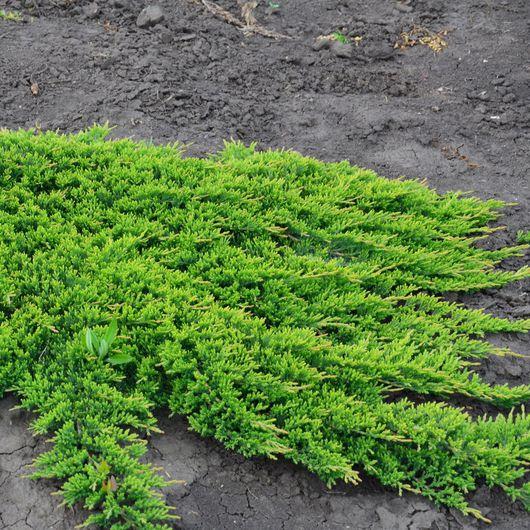 Plazivé rastliny - Borievka rozprestretá ' Prince of Wales'
