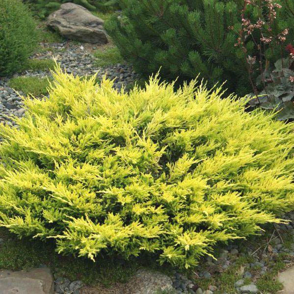 """Plazivé rastliny - Borievka rozprestretá """"Lime Glow"""""""