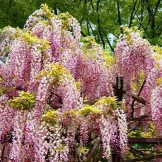 Popínavé rastliny - Vistéria kvetnatá  'Honbeni'