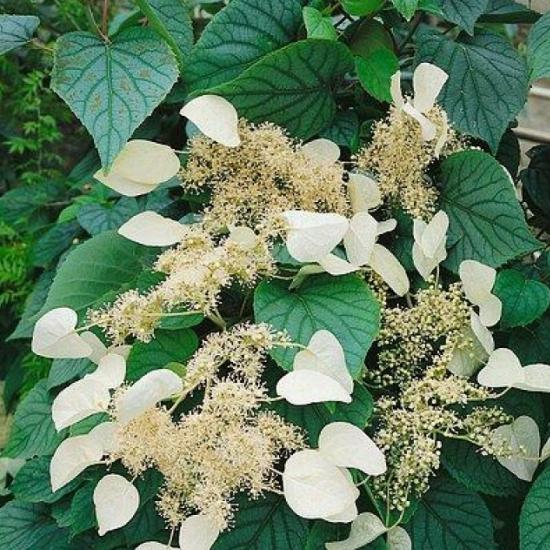 Popínavé rastliny - Schizophragma hydrangeoides ´Moonlight´